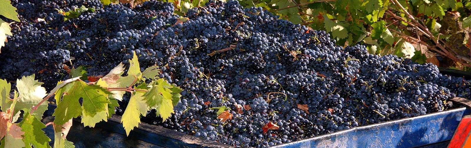 DSCF1793(grapes1202x379)